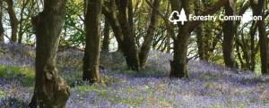 Westonbirt Bluebells