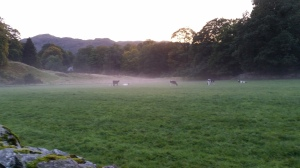Calves graze in the evening mist - Grasmere Village