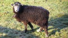 219_72_Herdwick-sheep-Tarn-Hows-Kevin-fairclough-940x529_thumb_220x0,0