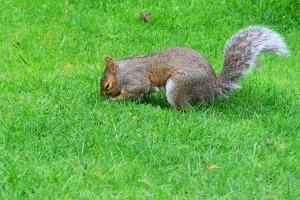grey-squirrel-498849_960_720